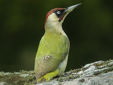 Green_woodpecker_gavlo_20040523_365